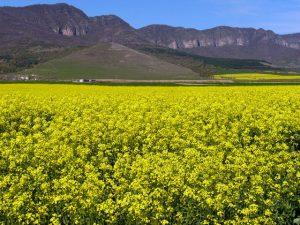 yellow-landscape-1389374-640x480